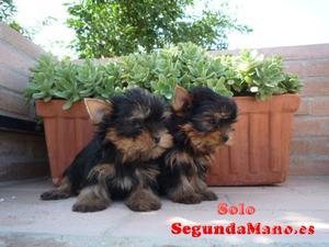 Yorksire terrier mini para adotion