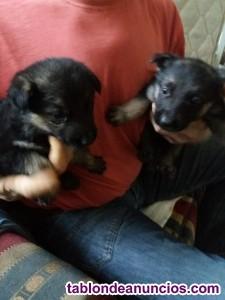 Venta de cachorros de pastor aleman