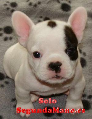 Bulldog Francés cachorros para Para Adopcion