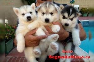 macho y hembra Husky cachorros ojos azules
