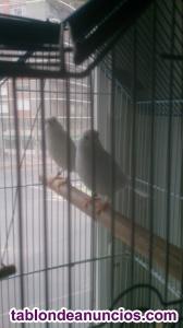 Cambio pareja de canarios blancos