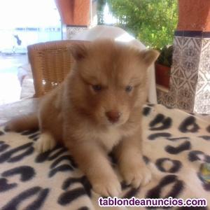Se venden 2 preciosos huskys - alaska