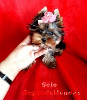 MINI Cachorros Yorkshire Terrier