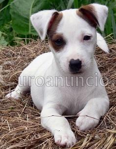 Regalo Cachorros Jack Russell en adopcion.