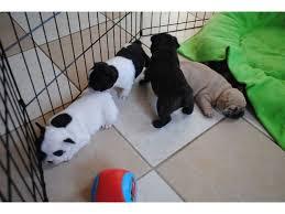 Bulldog francés cachorros para la adopción