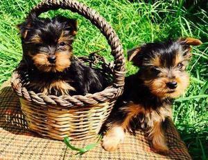 CRABZA Super lindos cachorros de Yorkshire Terrier para su