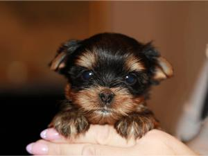 Cachorros Yorkshire Terrier mini toy disponibles.