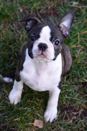 Cachorros de Boston terrier