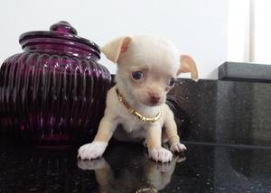 Cachorros de Chihuahua entrenados en casa para re-homing