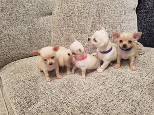 Cachorros de Chihuahua mini toy disponibles para adopción.