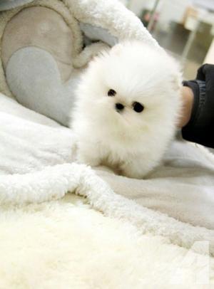 Cachorros de Pomerania de a la venta