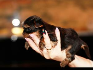 Cachorros de pura raza Yorkshire Terrier