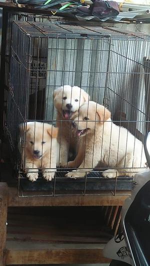 Cria&seleccion de Labrador linea inglesa libres displasia