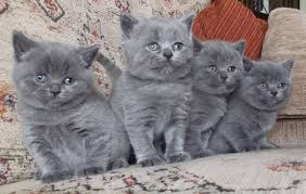 Disponibles camada de gatitos BRITISH azul