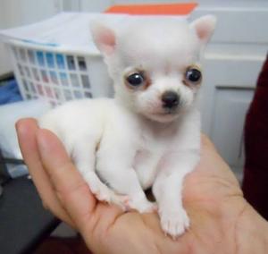 Dos maravillosos cachorros de Chihuahua mini toy cariñoso