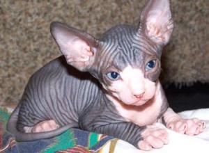 Expectacular gatita sphynx
