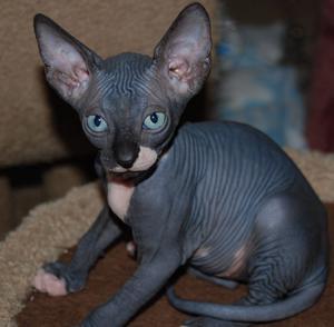 Gatitos egipcios de un mes se entregan