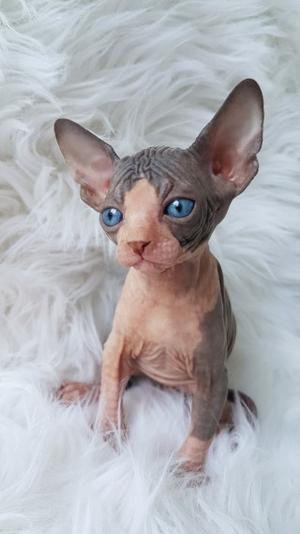 Hermosa camada de gato sphynx