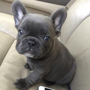 Hermosos cachorros de bulldog francés q