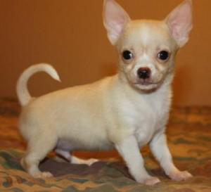 Hermosos cachorros de chihuahua para adopción