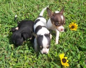 Hermosos cachorros de chihuahua pequeño