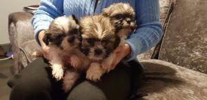 Impresionantes cachorros Shih Tzu para adopción gratuita
