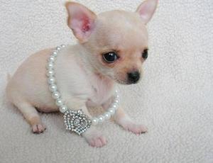 Lindo y adorable cachorros de Chihuahua mini toy macho y