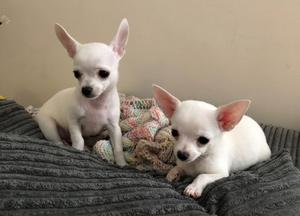 Lindo y adorable cachorros de Chihuahua mini toy macho y