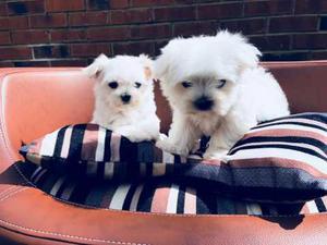 REGALO Bichón Maltés Cachorros Para Adopción