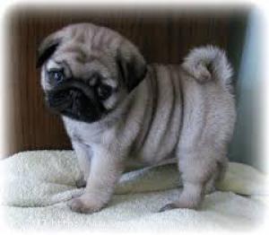 REGALO Carlino Pug Para Adopción