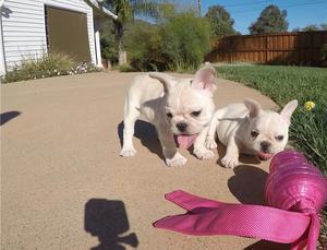 Regalo Bulldog francés cachorros