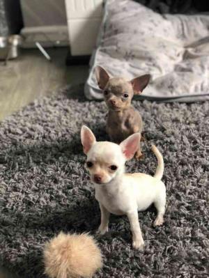 Regalo Cachorros Chihuahua para adopcion y Navidad
