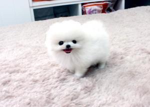 Regalo Cachorros Pomeranian para adopcion y Navidad