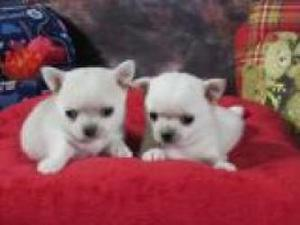 Regalo mini toy cachorros de raza chihuahua para adopcion