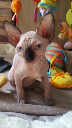 Saluda y activa los gatitos sphynx