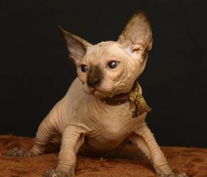 Tamulung Sphynx gatitos disponables para adopcion