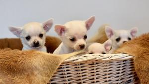 Tenemos dos increíbles cachorros Chihuahua mini toy