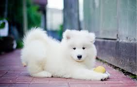 cachorros de samoyedos se entregan vacunados