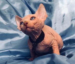 endo gatitos sphynx deparasitados vacunados