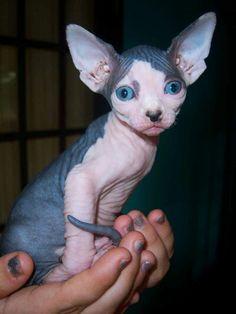 se venden preciosos gatitos sphynx super