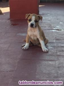 Venta de american staffordshire terrier