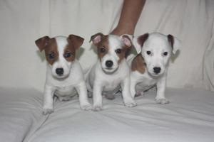 Cachorros Cachorros Jack Russell