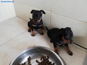 Espectaculares Cachorritos De Pincher En Miniatura