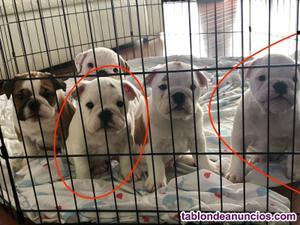 Bulldog ingles cachorros 2 meses