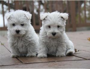 Regalo macho y hembra Westy terrier cachorros