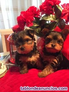 Vendo hembras yorkshire terrier mini