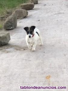 Venta de jack russell terrier