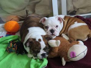 2 pequeños bulldog inglés a la venta! un niño y una niña