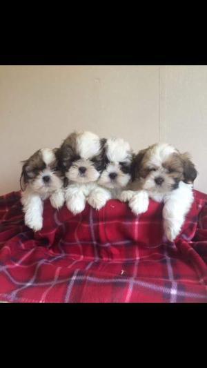 Adorables cachorros de Shih Tzu para adopción