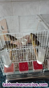 Canarios timbrados